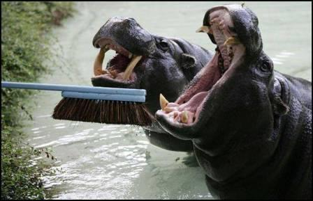 Brushing a Hippo's teeth-compressed